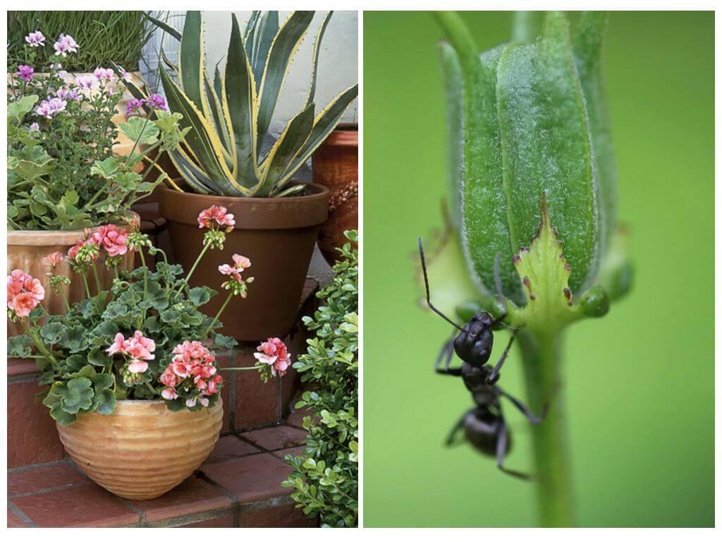 Jak dostat mravence z květináče